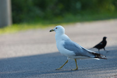 Seagull doing its Catwalk.... (Asif A. Ali) Tags: canon70200mm mudlake ottawa canoneos5dmarkii teleconverter canon extenderef2xiii wildlife canada britanniaconservation asifalicom asifaali photography telephoto lens