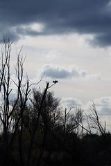 Cormorant on the lookout (Hans & Liek) Tags: nederland netherlands biesbosch cormorant aalscholver