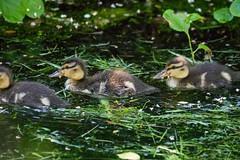 2U7A2295 (rpealit) Tags: scenery wildlife nature east hatchery alumni field mallard duck ducklings bird