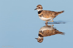 Killdeer (Matt F.) Tags: killdeer bird