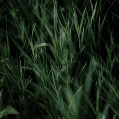 Marshland Grasses 050 (noahbw) Tags: d5000 dof nikon prairiewolfsloughforestpreserve abstract blur dark darkness depthoffield grass landscape marshland natural noahbw prairie square summer wetlands