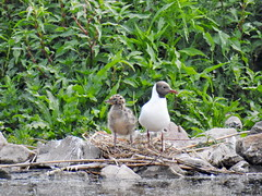 Black-headed Gull with chick (Corine Bliek) Tags: larusridibundus bird birds vogel vogels nature natuur wildlife young small baby little klein jong newborn mother child