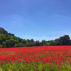 South of France (claragargano) Tags: coquelicots champ