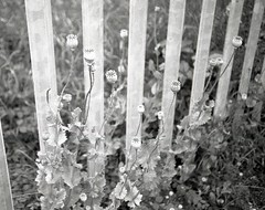 informal border (press L) (OhDark30) Tags: olympus 35rc 35 rc film 35mm monochrome bw blackandwhite bwfp fomapan 200 rodinal fence flowers poppy seed heads weeds urban wild