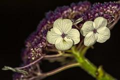 Samthortensie (efgepe) Tags: 2017 hortensie hydrangea juli lightroom macro makro samthortensie colorefexpro