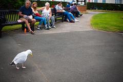 chips (pamelaadam) Tags: thebiggestgroup fotolog digital summer august 2016 holiday2016 people lurkation animal bird seagull filey engerlandshire