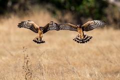 Juvenile Northern Harriers (wlb393) Tags: northernharrier birdsofprey birds sycamoregrove livermore s8m5221