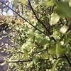 Pittosporums (Blerick Tree Farm) Tags: pittosporum