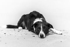 peace & quiet (Monika Humpage) Tags: sandybeach soundofthesea beach bordercollie blackandwhite 50mm chilling