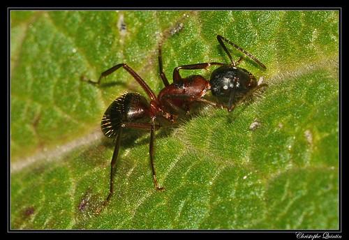 Camponotus ligniperdus