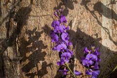 Hardenbergia violacea (dustaway) Tags: fabaceae faboideae hardenbergia hardebergiaviolacea happywanderer twiner australianplants australianflora flowers inflorescence peaflowers purpleflowers shadows forestredgum goonellabah australianwildflowers northernrivers nature nsw australia