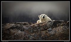Quiet Time for Mama Bear (Sharon's Nature) Tags: ursusmaritimus polarbear arctic svalbard mother bear polar bears polarbearsinternational