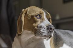 Basking (- Jan van Dijk -) Tags: beagle winter basking dog perro chien hund hond morningsun