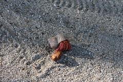 IMG_6451 (martabaral) Tags: nz cookislands artrópodo cangrejo ermitaño concha crustáceo animal invertebrado