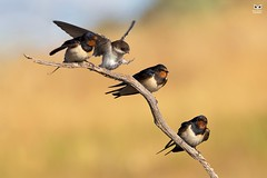 Andorinha-das-chamines, European Swallow (Hirundo rustica) / Andorinha-das-chamines, European Swallow (Hirundo rustica) (Nuno Xavier Moreira) Tags: andorinhadaschamines europeanswallowhirundorusticaandorinhadaschamines europeanswallowhirundorusticaemliberdadewildlifenunoxavierlopesmoreirangc animals animais aves de portugal observação nature natureza selvagem pics wildlife wildnature wild photographer birds birding birdwatching em bird ao ar livre ornitologia ngc nuno xavier moreira nunoxaviermoreira liberdade national geographic