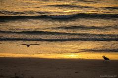 Buscando la cena (SantiMB.Photos) Tags: 2blog 2tumblr 2ig atardecer dusk playa beach sunset gaviotas seagulls océano ocean atlántico atlantic vagueira vagos aveiro praiadavagueira portugal prt