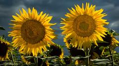 Deux soleils attendent l'orage (christian.rey) Tags: tournesols orage sony alpha 77 1650 cultures fleurs jaune flower yellow blumen gelb agriculture broye fribourg campagne