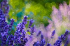 Blossoms & bubbles (Karsten Gieselmann) Tags: bokeh dof domiplan50mmf28 em5markii grün jahreszeiten lavendel lila microfourthirds natur olympus pflanzen rosa schärfentiefe sommer strauch sträucher vintagelens bush bushes green kgiesel lavandula lavender m43 mft nature pink purple seasons summer violett