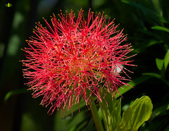Blutblume (Argentarius85) Tags: nikond5300 sigma105mmf28exdgoshsm blutblume scadoxusmultiflorus blütenkugel macro makro nahaufnahme bokeh colours farben details blossom blüte blume flower