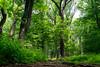 Week 24 - Artistic: Green - Forest Trail #dogwood2017week24 (MrFox9) Tags: m42 dogwood52 dogwood2017 dogwood52week24 dogwood2017week24 flektogon flektogon35f24 carlzeissjena ausjena