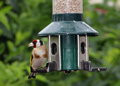 Goldfinch. (Blossom's Mom.(Sheila Hess)) Tags: bird finch goldfinch garden feeder july 2017
