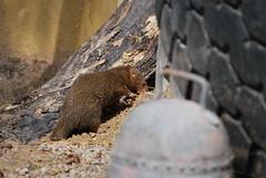DSC_0074 (Capt_Bowman) Tags: zsl london zoo mongoose