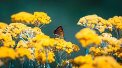 Laid butterfly (Nicola Pezzoli) Tags: italy italia bergamo leffe lombardia val gandino cerida mood nature ceride butterfly farfalla liquirizia flowers bokeh zoom macro