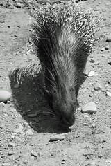 mein Schatten (auschmid) Tags: auschmid slta99 sal135f18z kallnach johnskleinefarm schweiz switzerland tierpark streichelzoo haustiere stachelschwein porcupine