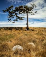 Lone Tree (www.kjc.photos) Tags: trees landscape nature scenic outdoors yellow grass windblown washington deceptionpass