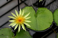 Nyphaea St Louis Gold (phginlon) Tags: kewgardens london uk flowers trees st louis gold waterlily nymphaea