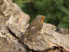 Robin (mid moult) - Kiveton Community Woodland (westoncfoto) Tags: birds kiveton mining spoil reserve