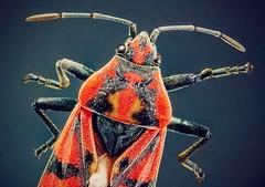 The Firebug or Pyrrhocoris apterus (ebrahemhabibeh) Tags: