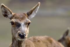 Scottish red Deer (Cervus Elaphus Scoticus), northwest Highlands of Scotland. (DESPITE STRAIGHT LINES) Tags: deer reddeer scottishreddeer wildanimal scottishreddeercervuselaphusscoticus nature mothernature naturalbeauty scotland nikon d800 nikond800 nikon2470mm nikkor2470mmf28 nikongp1 gps paulwilliams despitestraightlines flickr raw scotlandsbeauty uk beauty beautiful island islands water loch lochcluanie lochcluaniescotland lake glenshiel cluaniedam mitchellconstruction northwesthighlandsofscotland thebeautyofscotland