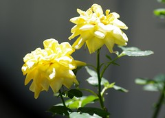 Lemon Drop roses (Niki Gunn) Tags: pentax k5 july 2017 rose plant flower tamron 90mm macro tamron90mmmacro tamronspaf90mmf28 tamron90mm tamron90mmf28