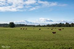Sur de Chile (AllanS.) Tags: sur chile green greenworld earth verde life nature naturaleza paisaje landsape cow volcanes volcan calbuco