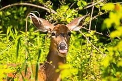 2U7A2339 (rpealit) Tags: scenery wildlife nature east hatchery alumni field whitetail deer sickly looking