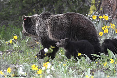 Blondie and two baby bears (V. C. Wald) Tags: ursusarctoshorribilis grizzlybear grandtetonnationalpark tamronsp150600f563divcusdg2