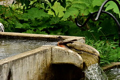 Robin Bathing 5/6 (thatSandygirl) Tags: bird americanrobin robin fountain water bathing wet bath splash outdoor nature animalavian green stone cement birdbath