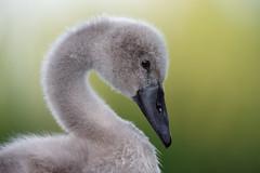'Alberto' (Jonathan Casey) Tags: cygnet swan mute whitlingham broad norfolk nikon d810 400mm f28 vr