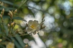 Yellow Oleander (Süleyman Özek) Tags: yellow yellows oleander zakkum çiçek sarı flower flowers outdoors outdoor floral flora a7rii sony zeiss bokeh