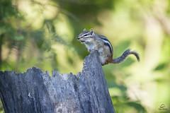 Noisy Chipmunk (Glatz Nature Photography) Tags: chipmunk forest glatznaturephotography greatlakes leastchipmunk minnesota nature nikond5 northamerica northwoods northernminnesota tamiasminimus vinceshutewildlifesanctuary wildanimal wildlife