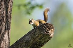 American Red Squirrel on the Alert (Glatz Nature Photography) Tags: forest glatznaturephotography greatlakes minnesota nature nikond5 northamerica northwoods northernminnesota vinceshutewildlifesanctuary wildanimal wildlife