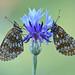 Schlafplatz (rudolfaurnhammer) Tags: natur tiere insekten schmetterlinge falter tagfalter scheckenfalter wachtelweizenscheckenfalter makro