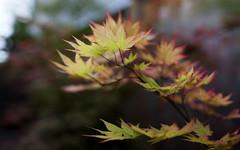 Autumn Moon (Xiao-Bu) Tags: canon5dmarkii ef35mmf14lusm japanesemaple autumnmoon acershirasawanum