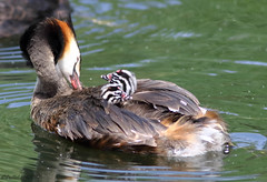 Great Crested Grebe Family (Georgiegirl2015) Tags: birds bbcwalesnature greatcrestedgrebe young juvenile july canon coastal cardiff wildlife wales wetland water reedbeds reeds ef300mm