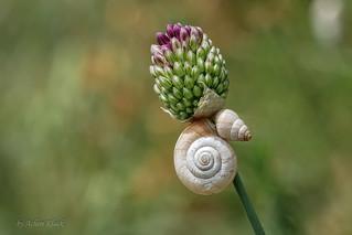 Gemeine Heideschnecke (Helicella itala) und eine Märzenschnecke (Zebrina detrita) am Kugelköpfigen Lauch (Allium sphaerocephalon)