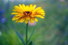 Flower Macro (sabrinasteiger1) Tags: flower blume blüte blüten macro makro nahaufnahme nature natur bokeh pastellfarben sommer summer germany nürnberg spring sonne sonnenlicht gegenlicht