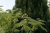 2017 - Albizia (bDom [+ 4 Mio views - + 48K images/photos]) Tags: jardin albizia maison bdom famille acacia bruyneeldominique