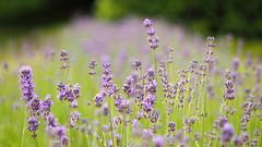 The Blue Meadow (jurgenkubel) Tags: äng sommaräng meadow summermeadow sommerwiese wiese blommor flowers blüten blumen flora olympus