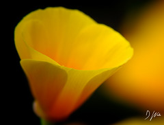 Yellow Cup (domwlive) Tags: californianpoppy countydurham flowers garden july macro macrolensfilter northeastengland peterlee plants summer yellow england unitedkingdom gb